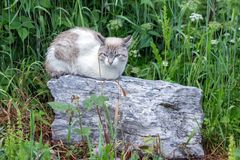 Sad wet white cat sitting on a big gray stone on a background of green grass on a cloudy day. Summer landscape. Sad wet white cat sitting on a big gray stone on Stock Image