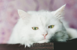 Sad white cat Stock Image