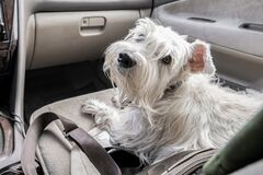 A sad white dog sits in the front passenger seat. She looks at the passenger in the back