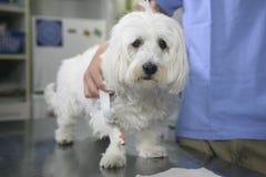 Sad white doggy. At the veterinary Stock Photo