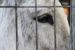 A sad white horse behind iron fence. A big black eye of a sad horse behind an iron fence stock photos