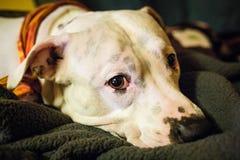 Sad white pitbull laying staring at camera royalty free stock photos