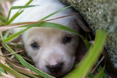 Sad white puppy lying in grass near stone. Cute small dog looking at camera. Lovely baby dog close up. Animal care and love concep. Sad white puppy lying in stock photos