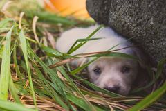 Sad white puppy lying in grass near stone. Cute small dog looking at camera. Lovely baby dog close up. Animal care and love concep royalty free stock images