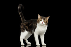 Sad White Scottish Straight Cat Standing in  Black Background Royalty Free Stock Image