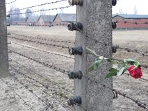 Sad Rose at Auschwitz. A sad wilted rose left on the barbed wire of Auschwitz Camp II. The contrast of the rose against the ceramic insulators of the once Royalty Free Stock Photos