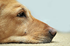 Sad Yellow Lab Laying On Carpet. Copy space on the right side stock photography