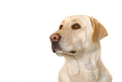 Sad yellow labrador Stock Image