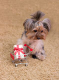 Sad Yorkshire Terrier with a gift Royalty Free Stock Photos