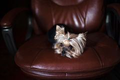 Sad Yorkshire Terrier laying. Sad cute Yorkshire Terrier laying on brown armchair royalty free stock photography