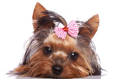 Sad yorkshire terrier puppy dog Stock Photo