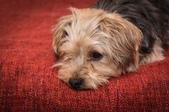 Sad yorkshire terrier puppy dog Royalty Free Stock Photos