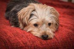 Sad yorkshire terrier puppy dog Stock Image