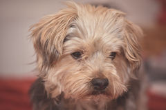 Sad yorkshire terrier puppy dog Royalty Free Stock Photography