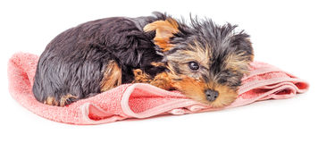 Sad Yorkshire terrier puppy on pink carpet  Stock Photo