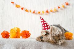 Sad Yorkshire Terrier (Yorkie) Dog in red party hat cap lies on. Table on the background of festive garland and decor. After party, When the party is over stock photography