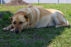 Sad young dog. Dog in depression royalty free stock image