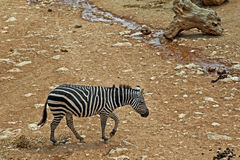 Sad zebra Stock Photography