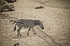 Sad zebra Stock Images