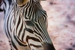 A sad zebra is thinking about life. Zebra Animal Striped Black White Nose Eyes Cut Africa Background Ears Stock Photo