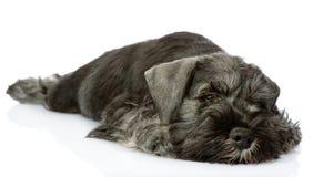 Sad zwergschnauzer puppy. Stock Photos