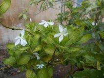 Sadabahar blomma/ört Arkivbild
