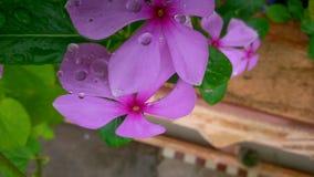 Sadabahar flower. Monsoon, Rain I loved it Stock Image