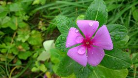 Sadabahar pink flowers Stock Images