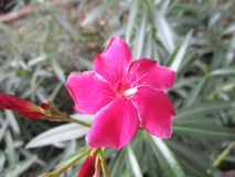 Sadaphuli blomma Arkivfoto