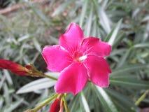 Sadaphuli kwiat Zdjęcie Stock