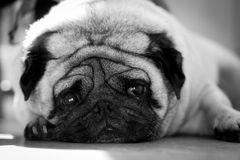 Saddest pug face mono. A cute pug looking up at the camera Royalty Free Stock Image