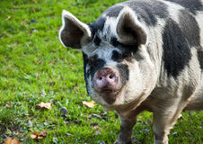 Saddle-back pig Stock Images