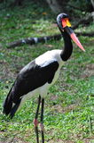 Saddle-billed Stork Royalty Free Stock Image