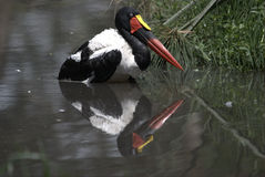 Saddle billed stork Stock Photography