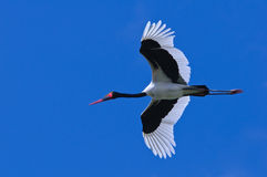 Saddle-billed Stork. Ephippiorhynchus senegalensis, in Flight royalty free stock photo