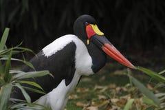 Saddle-billed Stork stock images