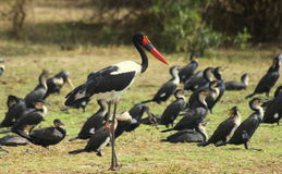 Saddle Billed Stork Stock Photography
