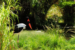 Saddle-billed Stork Stock Image