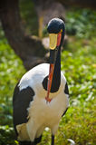 Saddle Billed Stork Royalty Free Stock Photos