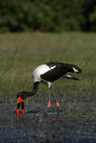 Saddle-billed Stork. (Ephippiorhynchus senegalensis) looking for food in the Okavango Delta, Botswana royalty free stock images