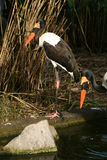 Saddle-billed Stork. In natural habitat royalty free stock image