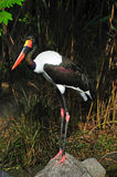 Saddle billed stork Stock Photos