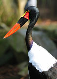 Saddle billed stork Stock Image