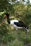 Saddle-billed Stork. The Saddle-billed stork is an amazing bird. We found it near a water stream in the Kruger Park Royalty Free Stock Photo