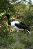 Saddle-billed Stork Royalty Free Stock Photo