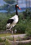 Saddle-billed Stork Stock Photography