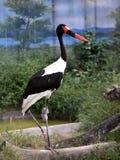 Saddle-billed Stork Royalty Free Stock Photos