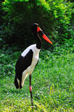 Saddle-billed stork bird Stock Photos