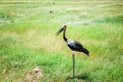Saddle- billed Stork bird in Kenya, Africa royalty free stock image