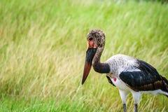 Saddle- billed Stork bird in Kenya, Africa.  Stock Photo
